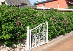 Неформованная живая изгородь из розы морщинистой