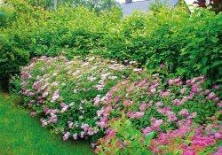 Неформованная живая изгородь из дерена и спиреи японской