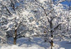 Морозоустойчивость плодовых деревьев