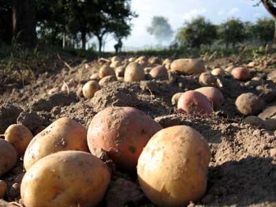 В Бурятии большие планы по картофелю и овощам
